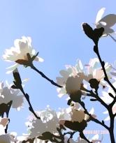 Doon art BlueSky White blooms blr 2